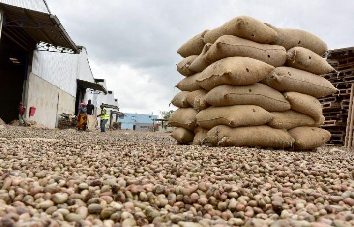 Côte d'Ivoire : L'anacarde se transforme en pépite d'or gris